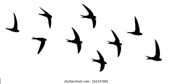 Silhouette of the birds in flight. Screaming party of the swifts.