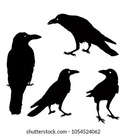 silhouette of a crows in different positions. vector illustration. black ravens on grey. Isolated. rook illustration.