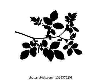 Silhouette of dog rose twig isolated on white, vector illustration