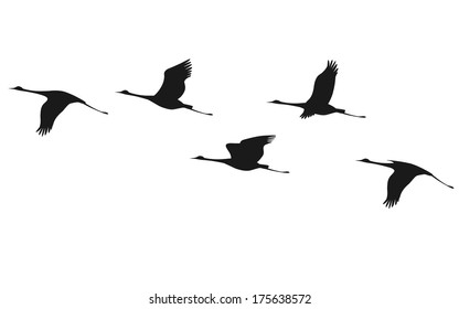 Silhouette of flying flock of cranes.