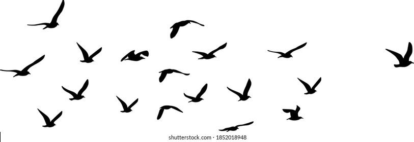 silhouette of great black-backed gull (Larus marinus) on flight, vector on white background