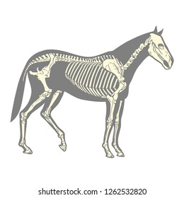 silhouette of a horse skeleton. White background.