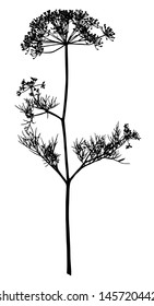 Silhouette of an inflorescence of fennel