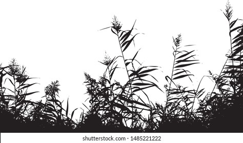 The silhouette of the lake reeds. Close-up. Isolated vector illustration. Black on white.