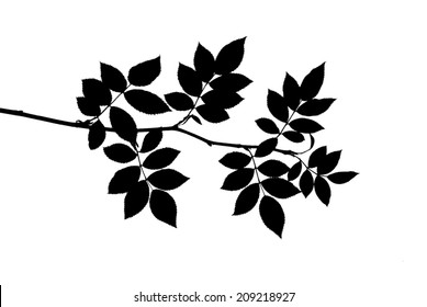 Silhouette of leaves on a young twig of dog rose