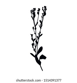 Silhouette of a plant branch tansy balsamic. Vector monochrome floral illustration of herbs isolated on white background.