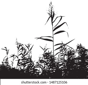 Silhouette of reed branches. Cattail. Grass by the lake. Group of plants. Close-up. Isolated vector illustration. Black on white.