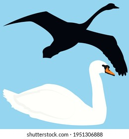 silhouette of a swan flying and floating isolated. Vector stock illustration.migratory birds(Cygnus olor) and migration from the south.