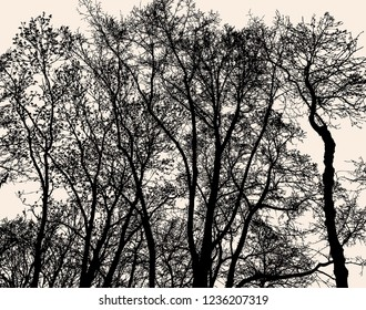 Silhouettes of deciduous trees in the cold season