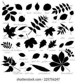 Silhouettes of tree leaves (elm, beech, ash, walnut, linden, birch, alder, aspen, willow, maple, elder, poplar, mountain ash, rowan, hawthorn, oak, acacia, chestnut, conker). Vector illustration.