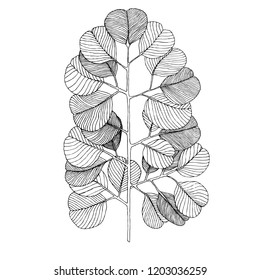 Silver dollar eucalyptus leaves. Hand-drawn vector illustration for your unusual natural design.