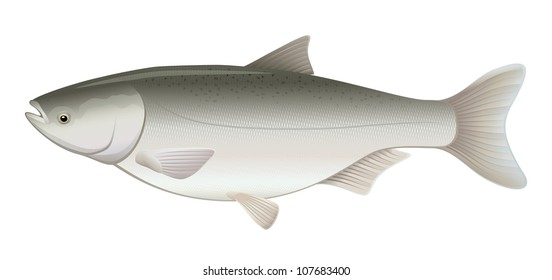 "Silver Flying Carp Freshwater Fish (Hypophthalmichthys molitrix) ""Full compatible Vector. Created with gradients."""