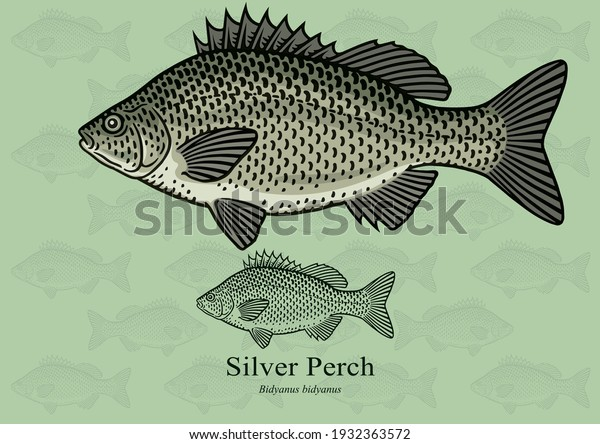 Silver Perch. Vector illustration with refined details and optimized stroke that allows the image to be used in small sizes (in packaging design, decoration, educational graphics, etc.)