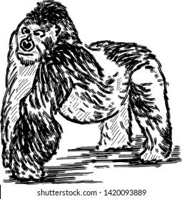 A silverback gorilla making a pose. Hand drawn vector illustration.
