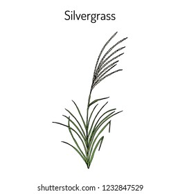 Silvergrass (Miscanthus sinensis), or Korean uksae, Chinese silver grass, Eulalia grass, ornamental plant. Hand drawn botanical vector illustration
