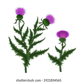 Silybum marianum this species is an annual or biennial plant of the family Asteraceae. Vector illustration
