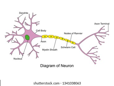 Simple neuron diagram 2D, labeled. Nerve cell