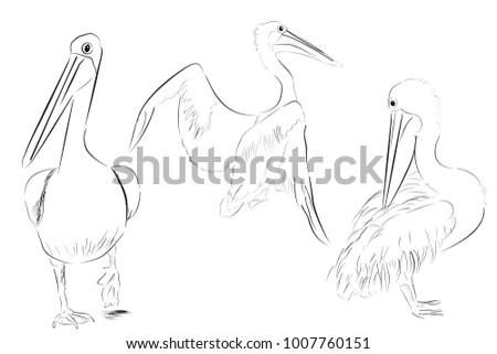 simple outline sketch three pelican bird stock vector royalty free
