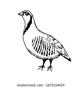 Simple vector freehand drawing in black outline. Ptarmigan bird isolated on a white background. Farm, nature, poultry, hunting, game.