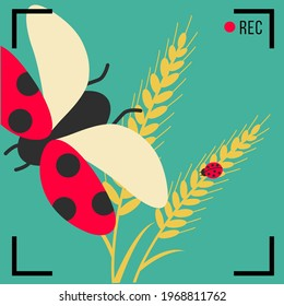 simple Wheat holiday flat design. ripe harvest vector for bread. record and closeup on cute ladybug flies. free lady bug or beetle on macro clean bread or food illustration in camera viewfinder frame