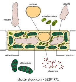 Simplified structure of a plant cell - vector