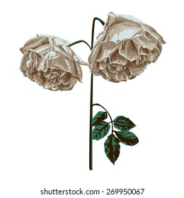 Single branch is withered roses?vector