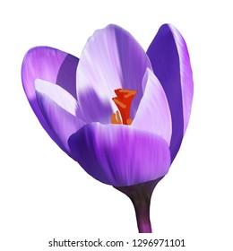 Single crocus flower, saffron. Purple flower on a white background, vector illustration, EPS10