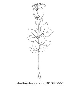 Single rose flower, plant with stem and leaves on white background. Blooming bud, thorns, black outline hand drawn sketch. Vector for holiday, gift, plant, nature illustration, coloring book.