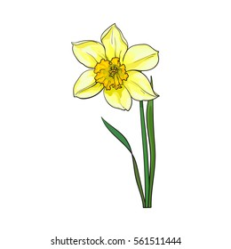 Single yellow daffodil, narcissus spring flower with stem and leaves, sketch vector illustration isolated on white background. Realistic hand drawing of daffodil spring flower in vertical position