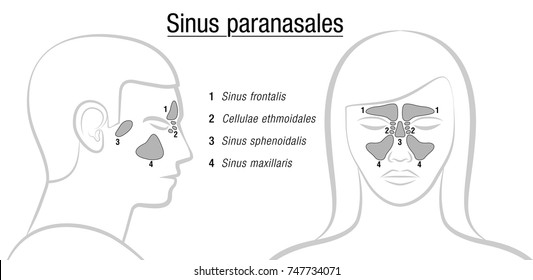 Sinuses with latin names - profile male and front view of female face. Frontal, ethmoidal, sphenoidal and maxillary sinuses. Isolated vector illustration on white background.