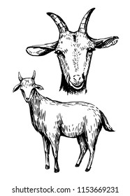 Skech of goat. Hand drawn vector. Isolated