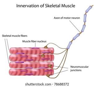 Skeletal muscle fibers and motor neuron in a motor unit