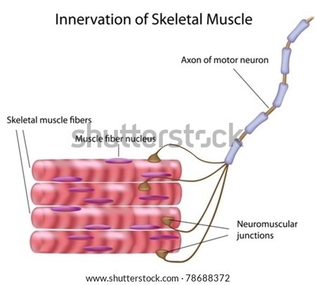 skeletal muscle fibers motor neuron motor stock vector (royalty free For Small Motor Neuron Motor Unit skeletal muscle fibers and motor neuron in a motor unit