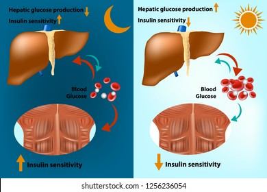 Skeletal muscle and liver metabolism for the regulation of systems glucose homeostasis. Insulin sensitivity. Hepatic glucose production.