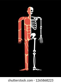 Skeletal muscle system. Skeleton and Muscular anatomy.Bones and muscles system human body