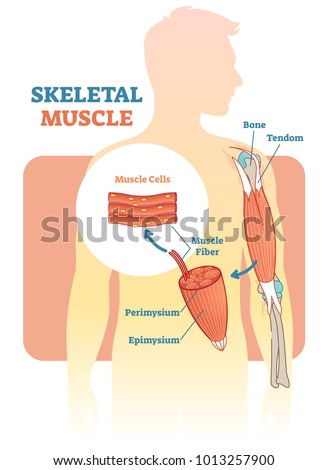skeletal muscle vector illustration diagram 450w 1013257900 skeletal muscle vector illustration diagram anatomical stock vector