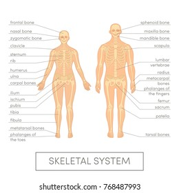 Skeletal system of a human. Cartoon vector illustration for medical atlas or educational textbook. Male and female physiology.