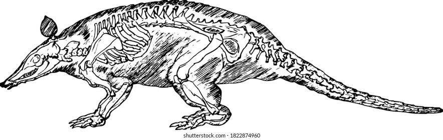 Skeleton of an armadillo. Hand drawn vector illustration.