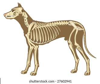 skeleton of dog section with bones x ray