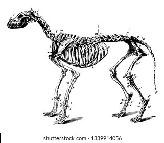 Skeleton of a Dog in which occipital and parietal are present vintage line drawing or engraving illustration.