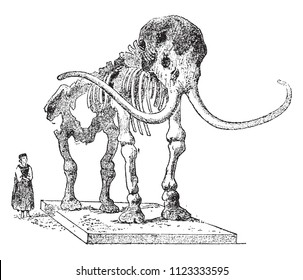 Skeleton fossil Mammoth, canned in the museum of Saint Petersburg, vintage engraved illustration. From Natural Creation and Living Beings.