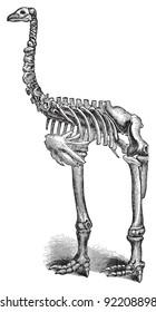 Skeleton Giant moa (Dinornis) / vintage illustration from Meyers Konversations-Lexikon 1897