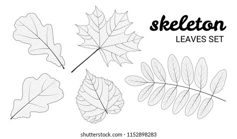 Skeleton leaves set, isolated on white background. Linear design vector illustration.