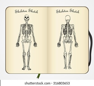 Skeleton sketch. Vector. Front and back view