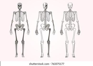 Skeleton vector. Full and half part of body. Linear shape of bones