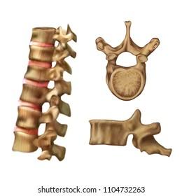 Skeleton_Spine (Structure of the 6th vertebra)