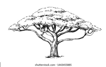 Sketch of an acacia tree. Hand drawn illustration converted to vector