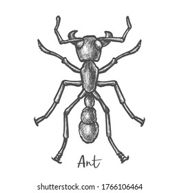 Sketch of ant or hand drawn insect, bug closeup. Vector vintage illustration of pest or colony worker. Animal with antenna. Mascot or tattoo. Biology and zoology, entomology fauna book theme