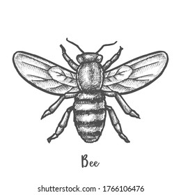Sketch of bee or hand drawn wasp. Vintage illustration design for honey insect, retro logo for bumblebee, engraving for honeybee. Apiary element, pest insignia or tattoo. Biology and entomology theme