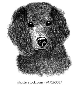 Sketch a black and white spaniel on a white background